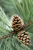 Close up of pine cone in garden — Stock Photo