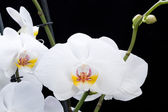 White orchid isolated on black — Stock Photo