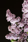 Branch of lilac isolated on black background — Stok fotoğraf