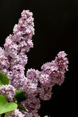 Branch of lilac isolated on black background — Stockfoto