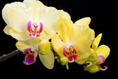 Yellow orchid isolated on black  background — Stock Photo