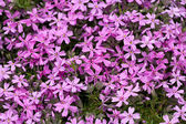 Aubrieta cultorum - pink or purple small flowers — Stock Photo