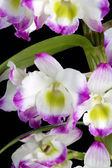 Dendrobium Orchid hybrids. Isolated on black — Stock Photo