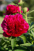 Peonies, red flowers in the garden — Stock Photo