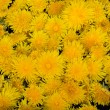 Beautiful yellow flower of Dandelion — Stock Photo #47772233