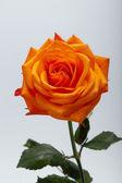 Zavřít obrázek jediného oranžové růže — Stock fotografie