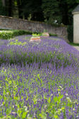 Garden with the flourishing lavender in France — Stock Photo