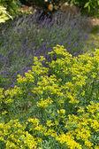Blooming ruta graveolens in garden — Stock Photo