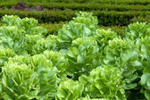 Field of Green Frisee lettuce growing in rows — Stock Photo