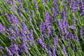 Garden with the flourishing lavender in France — Стоковое фото