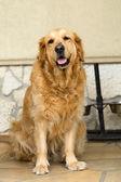 Portrait of beautiful golden retriever — Stock Photo