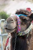 Head of the camel — Stock Photo