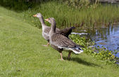 American duck — Stock Photo