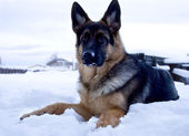 Dog German shepherd - winter time — Stock Photo