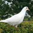White Dove — Foto Stock