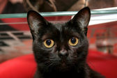 Svart katt — Stockfoto