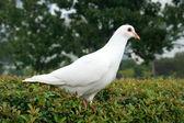 Bílá holubice — Stock fotografie