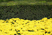 Yellow flowers and green bushes — Stock Photo