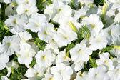 Witte bloemen — Stockfoto
