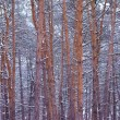 Beautiful pine winter forest — Stock Photo