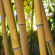 Yellow Bamboo Forest with Sunny Background — Stock Photo