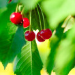 Red and Sweet Ripe Cherries on a Branch with Leaves in Summer — Stock Photo #20486359
