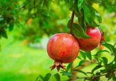 Frutto maturo melograno colorato sul ramo di un albero — Foto Stock