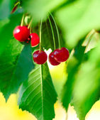 Red and Sweet Ripe Cherries on a Branch with Leaves in Summer — Stock Photo