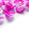 Beautiful Pink Rose Petals on the White Background — Stock Photo