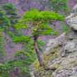 Strong Pine on the Rock in the Beautiful Mountains of Ukraine — Stock Photo