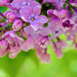 Stock Photo: Purple LilFlowers on Blurred Green Background