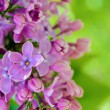 Purple Lila Flowers on the Blurred Green Background - Stock Photo