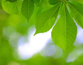 Spring Green Chestnut Leaves Over Blurred Background — Stock Photo