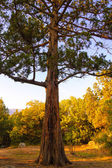 Big Pine Tree in the Autumn Forest — Stock Photo