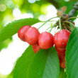 Sweet and Juicily Ripe Cherries on a Tree — Stock Photo #26172551