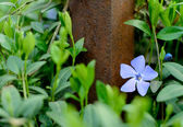 Periwinkle Flower Growing in the Garden — Stock Photo