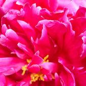 Närbild av vackra rosa pion blomma — Stock fotografie