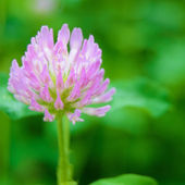 Beautiful Purple Flower against the Green Blurred Background — Stock Photo