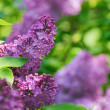 Purple Lilac? Flowers on the Blurred Green Background — Stock Photo