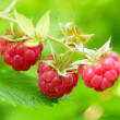 Close-up Image of Red Ripe Raspberries in the Garden — Stock Photo #28416057