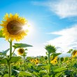 Bright Sun Shines Through the Petals of Beautiful Sunflower — Stockfoto