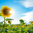 Bright Sun Shines Through the Petals of Beautiful Sunflower — Stock Photo