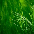 Ears of the Fresh Green Grass — Stock Photo