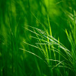 Stock Photo: Ears of the Fresh Green Grass