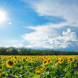 Big Field of Gold Sunflowers under the Bright Sun and Blue Sky — Stock Photo