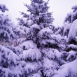 Stock Photo: Christmas Trees under Beautiful Snow Cover. Winter Landscape