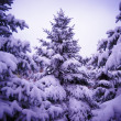 Christmas Trees under Beautiful Snow Cover. Winter Landscape — Foto de Stock
