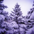 Christmas Trees under Beautiful Snow Cover. Winter Landscape — Stok fotoğraf