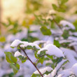 Evergreen Branch Covered with Snow Lit by Beautiful Sun Beams — Stock Photo