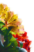 Beautiful Coloured Flowers on the White Background — Stock Photo